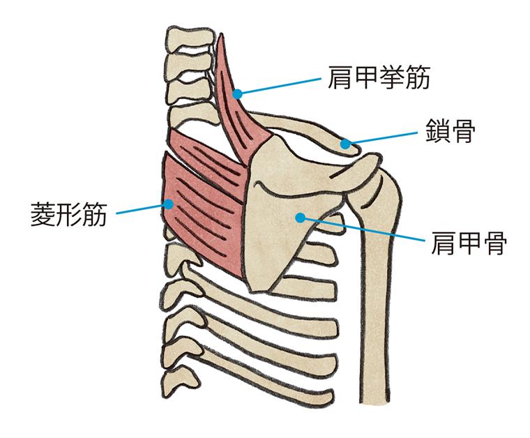 肩甲挙筋 鎖骨 肩甲骨 菱形筋